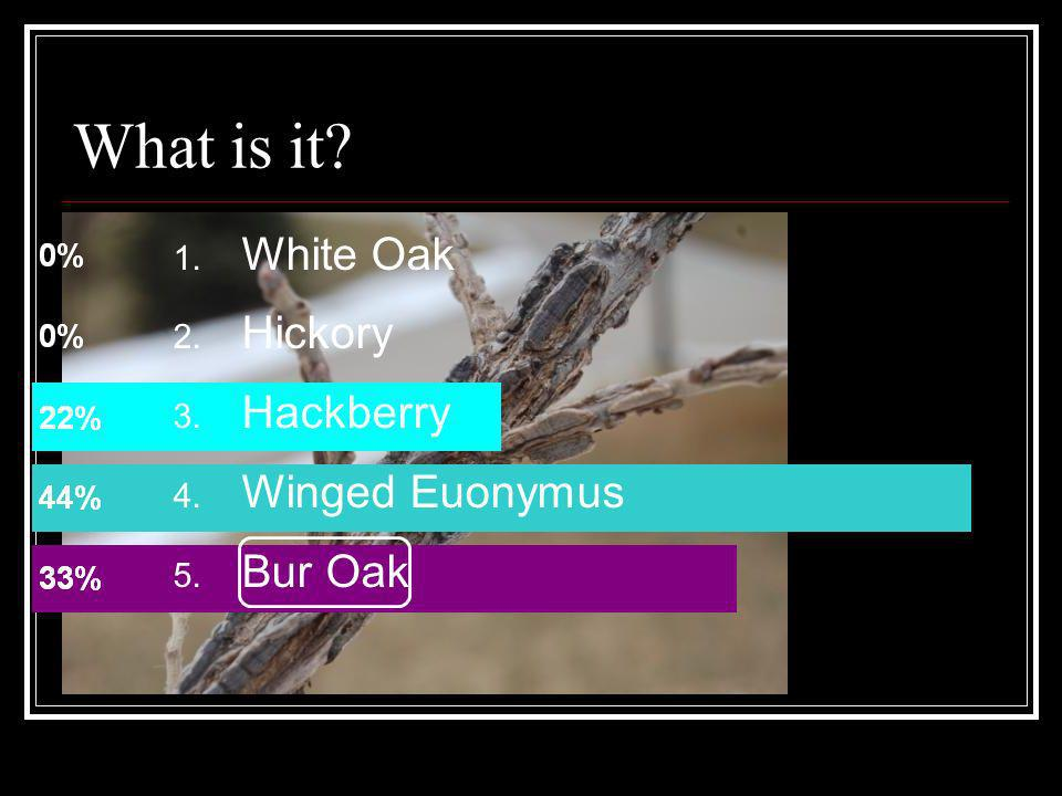 What is it White Oak Hickory Hackberry Winged Euonymus Bur Oak