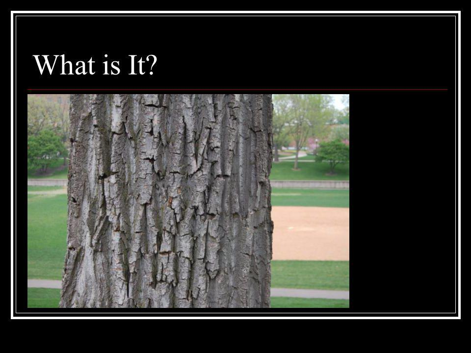 What is It Deeply furrowed, ridged bark, easy to penetrate with a knife.
