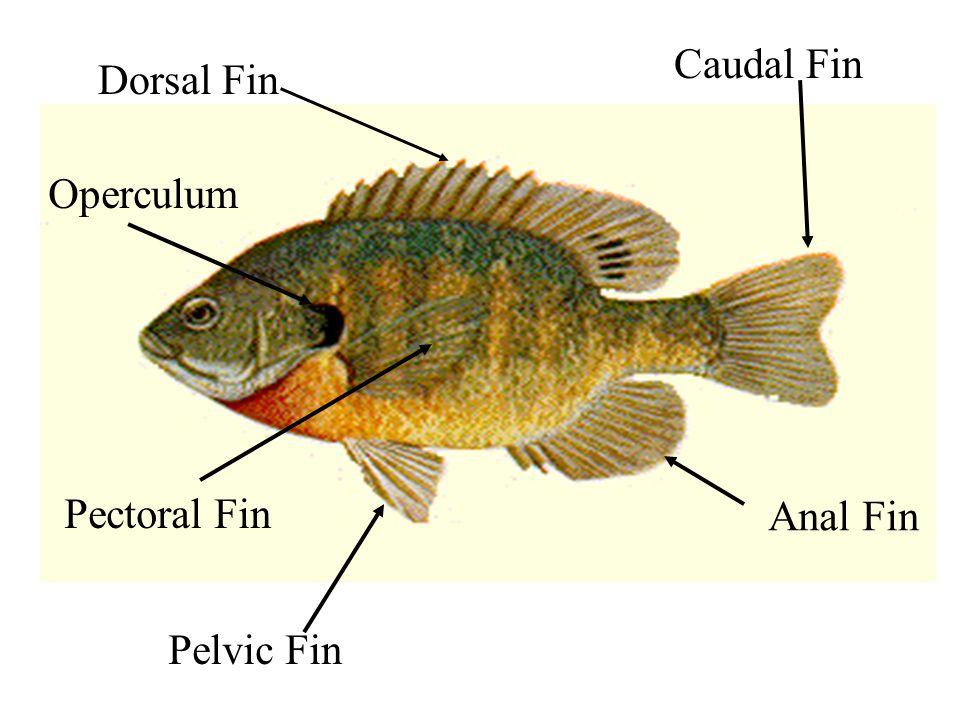 Caudal Fin Dorsal Fin Operculum Pectoral Fin Anal Fin Pelvic Fin