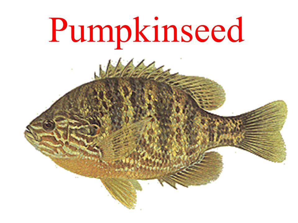 Pumpkinseed