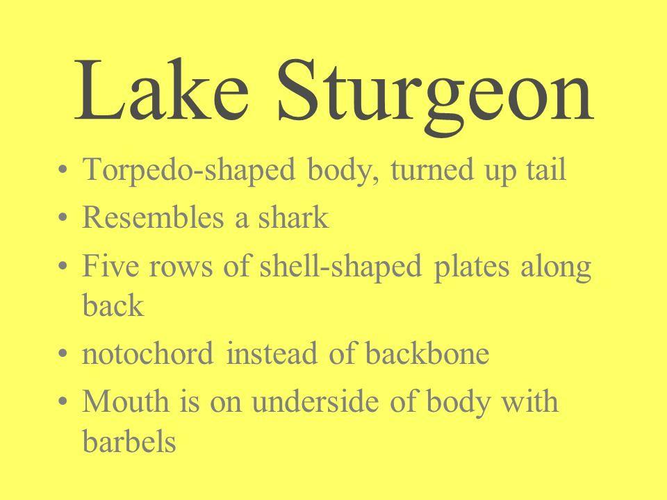 Lake Sturgeon Torpedo-shaped body, turned up tail Resembles a shark