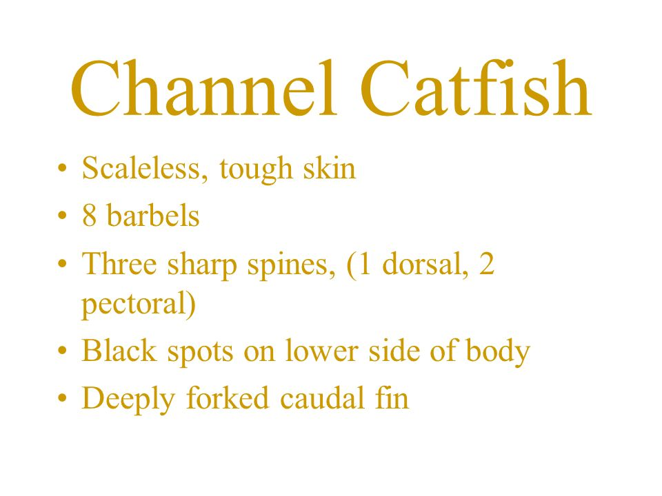 Channel Catfish Scaleless, tough skin 8 barbels