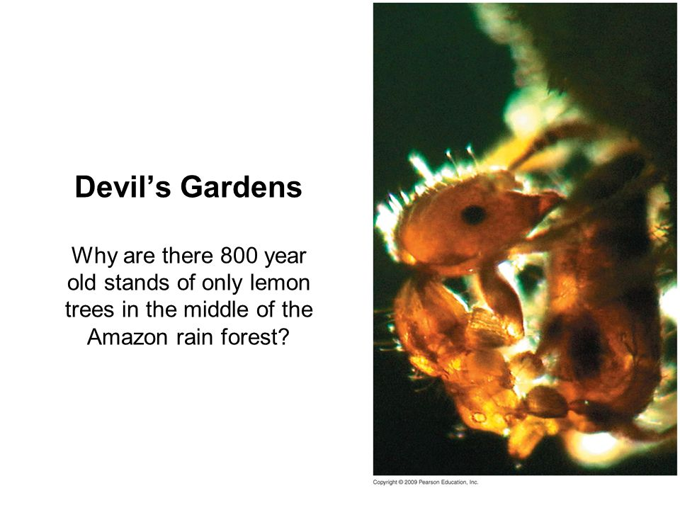 Devil's Gardens Why are there 800 year old stands of only lemon trees in the middle of the Amazon rain forest
