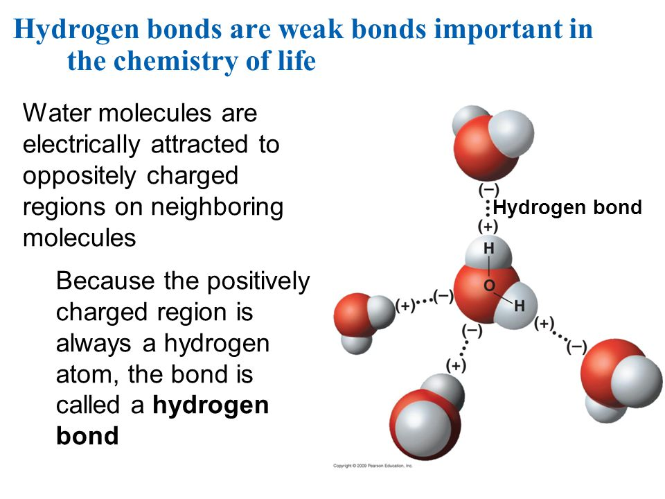 Hydrogen bonds are weak bonds important in the chemistry of life