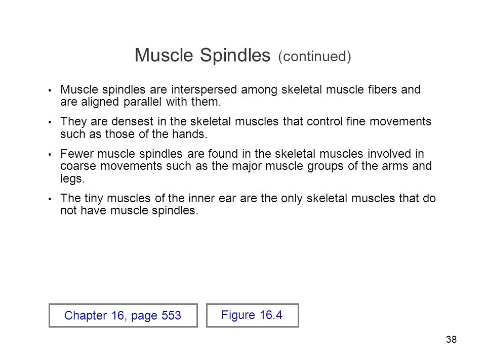 Muscle Spindles (continued)