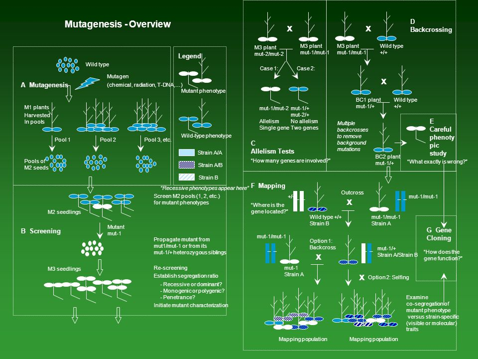 x x x Mutagenesis - Overview D Backcrossing Legend A Mutagenesis E