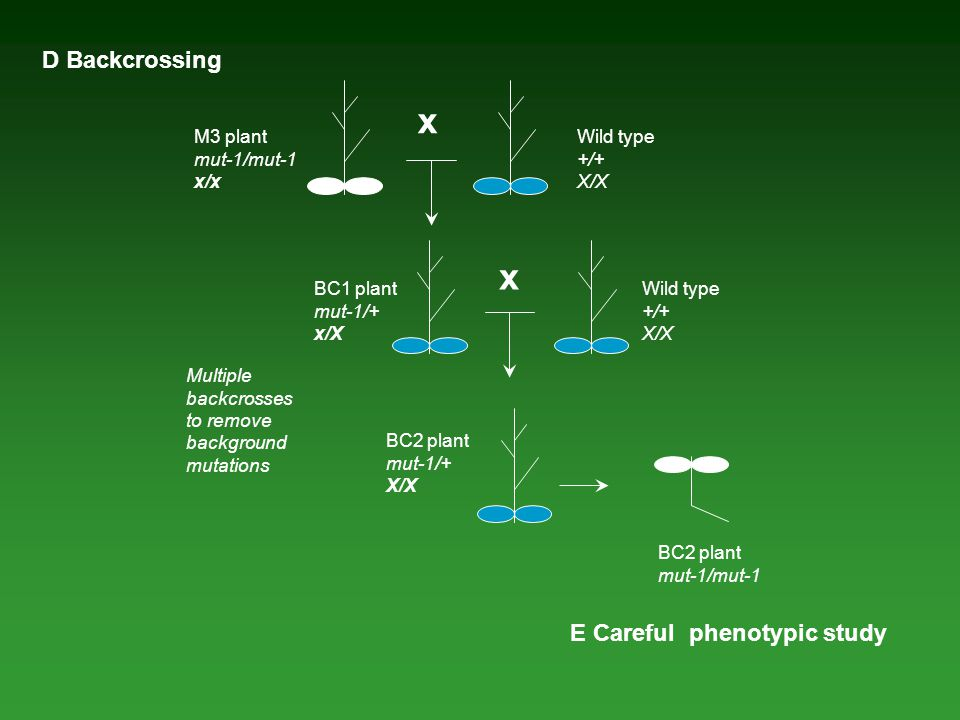 x x D Backcrossing E Careful phenotypic study M3 plant mut-1/mut-1 x/x