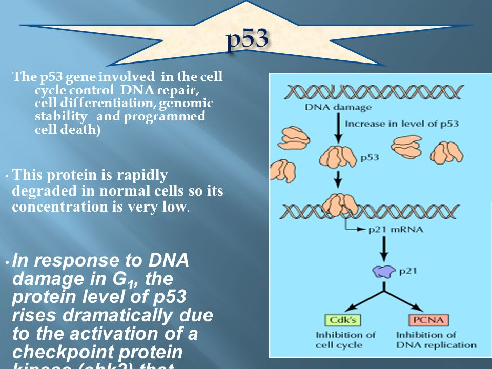 p53 The p53 gene involved in the cell cycle control DNA repair, cell differentiation, genomic stability and programmed cell death)