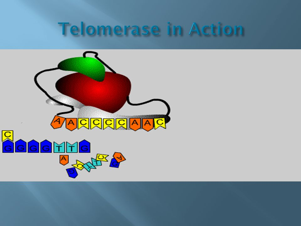 Telomerase in Action