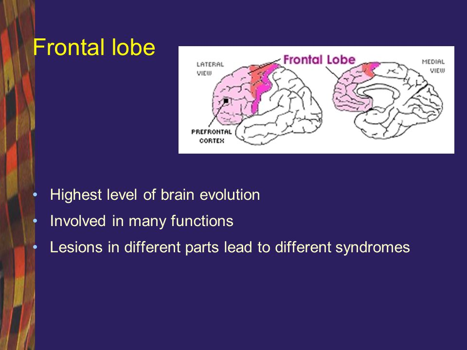 Frontal lobe Highest level of brain evolution