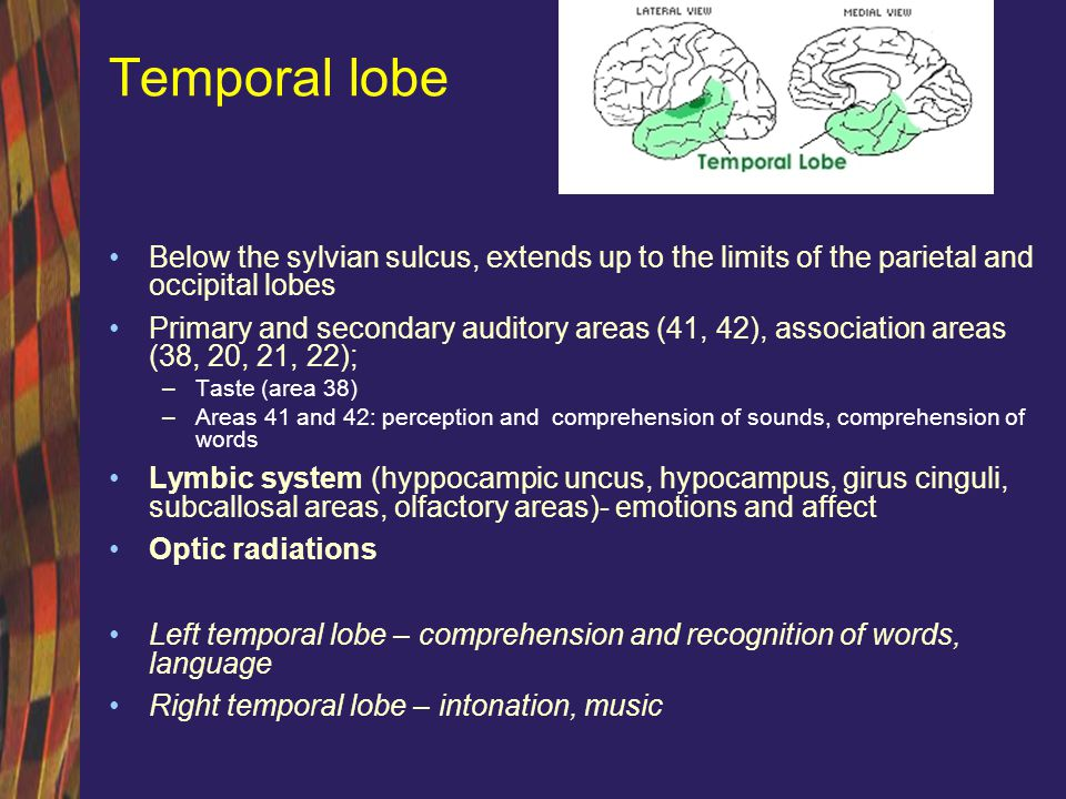 Temporal lobe Below the sylvian sulcus, extends up to the limits of the parietal and occipital lobes.