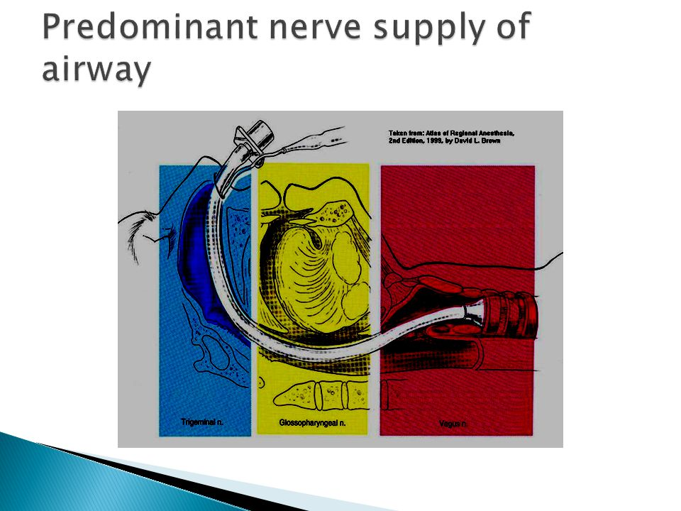 Predominant nerve supply of airway