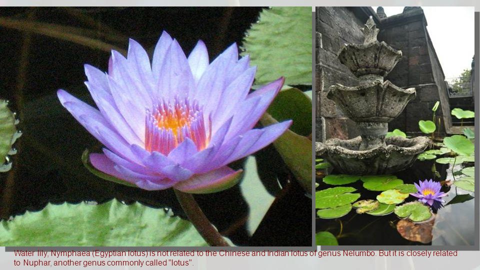 Water lily, Nymphaea (Egyptian lotus) is not related to the Chinese and Indian lotus of genus Nelumbo.