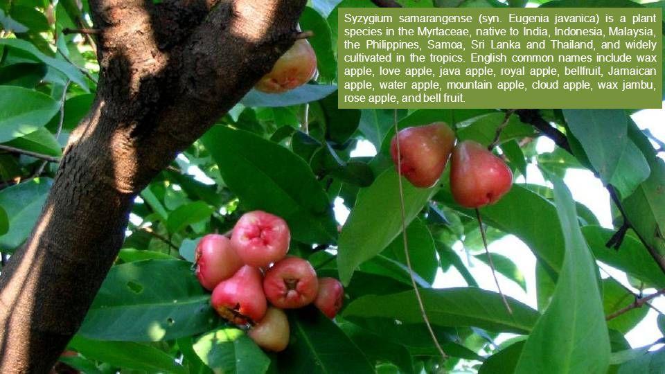 Syzygium samarangense (syn