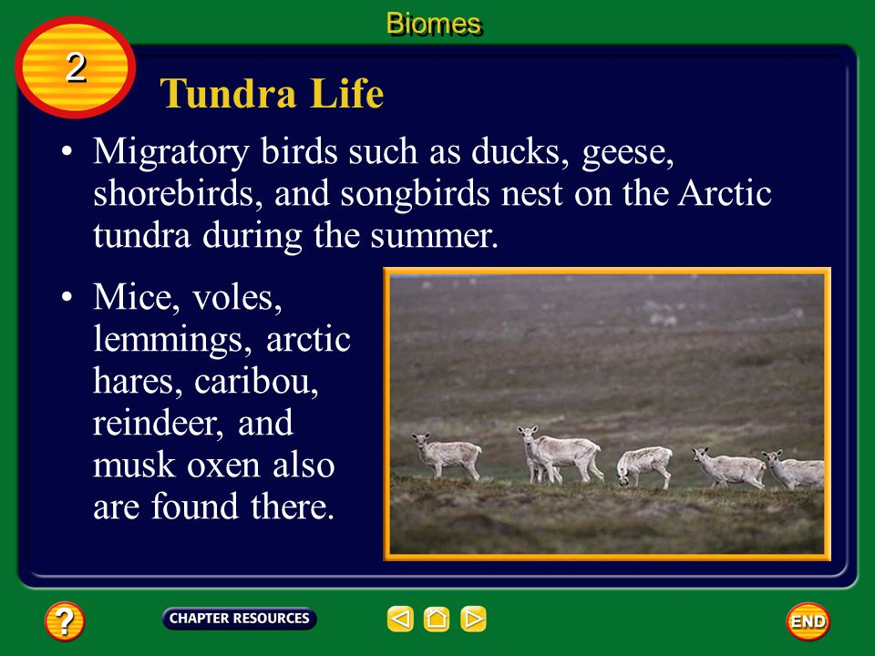 Biomes 2. Tundra Life. Migratory birds such as ducks, geese, shorebirds, and songbirds nest on the Arctic tundra during the summer.