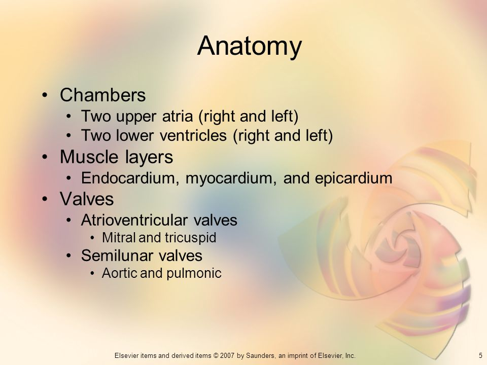 Anatomy Chambers Muscle layers Valves Two upper atria (right and left)