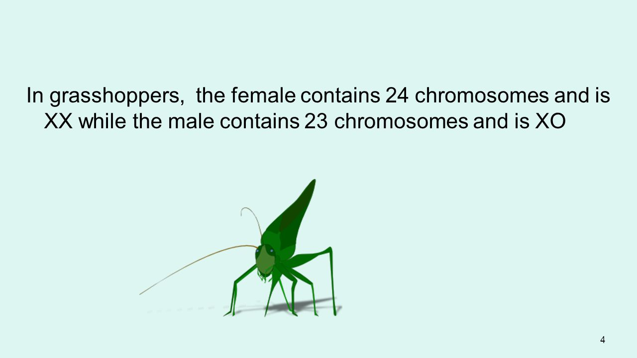 In grasshoppers, the female contains 24 chromosomes and is XX while the male contains 23 chromosomes and is XO