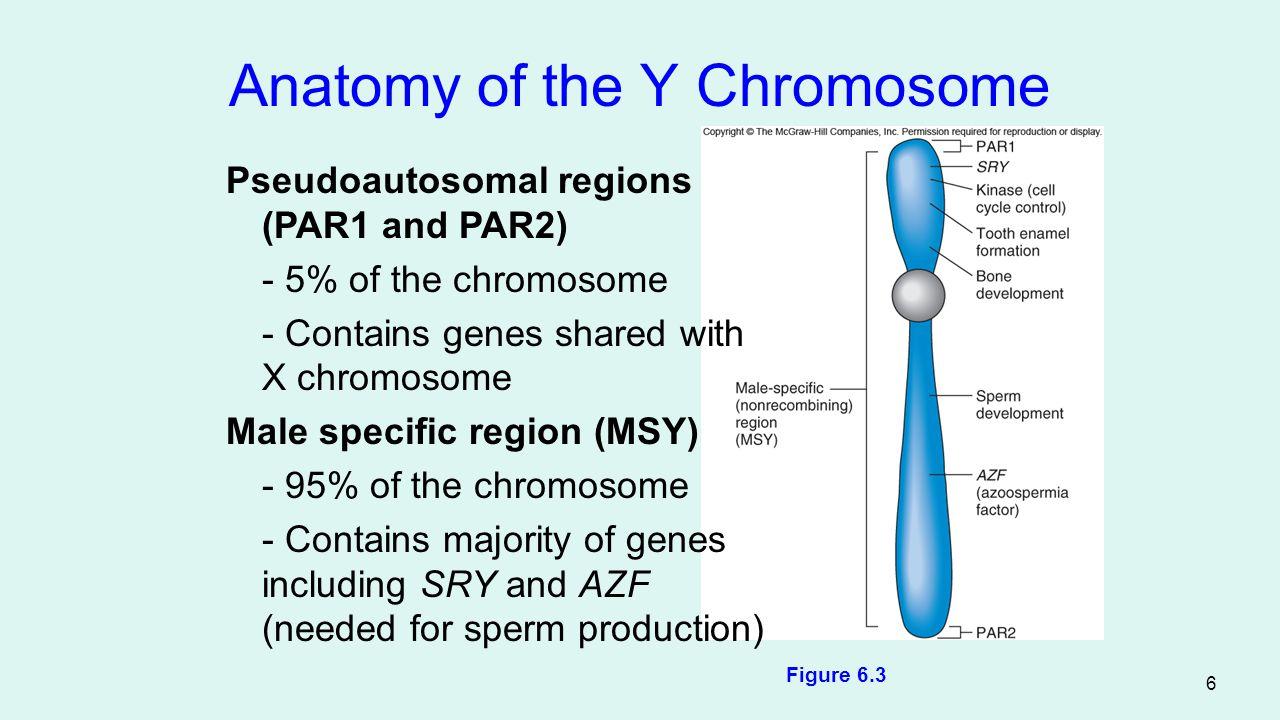 Anatomy of the Y Chromosome
