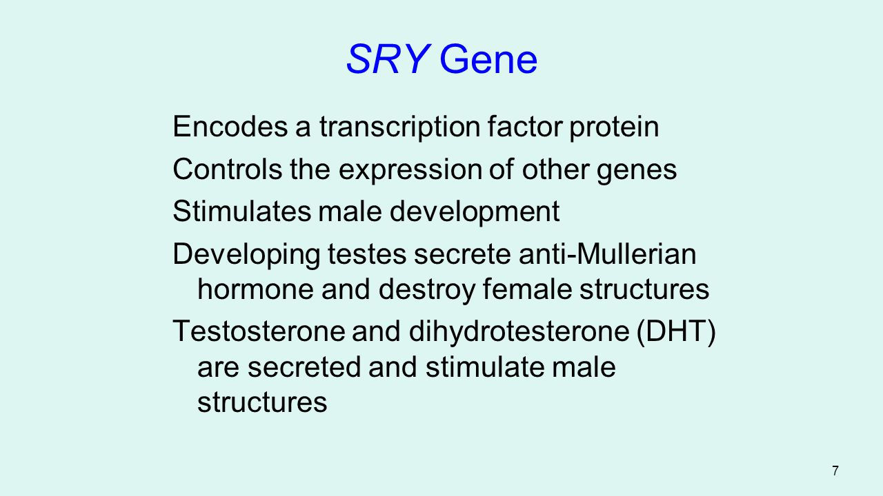 SRY Gene Encodes a transcription factor protein
