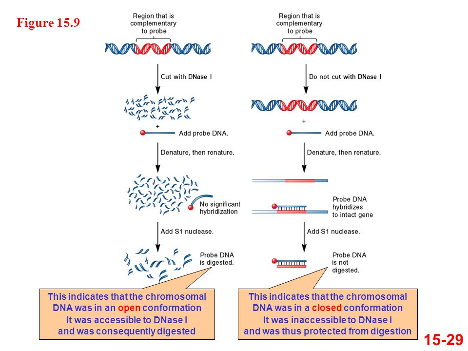 Figure 15.9 Cut with DNase I. Do not cut with DNase I. This indicates that the chromosomal DNA was in an open conformation.