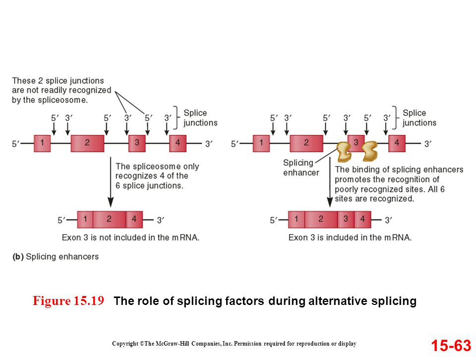 Figure 15.19 The role of splicing factors during alternative splicing