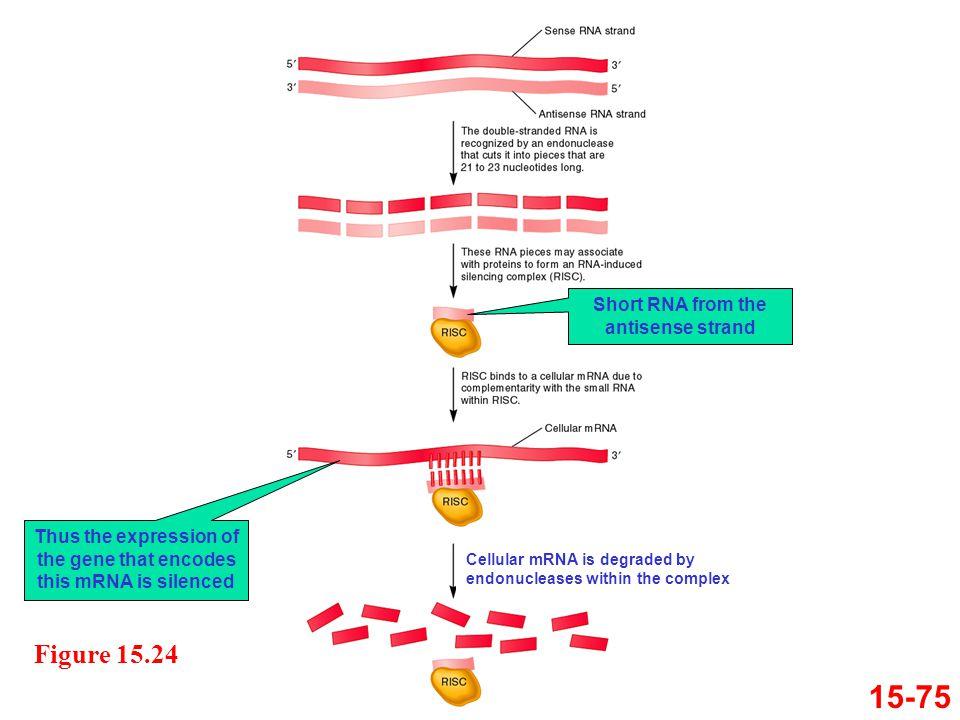 15-75 Figure 15.24 Short RNA from the antisense strand