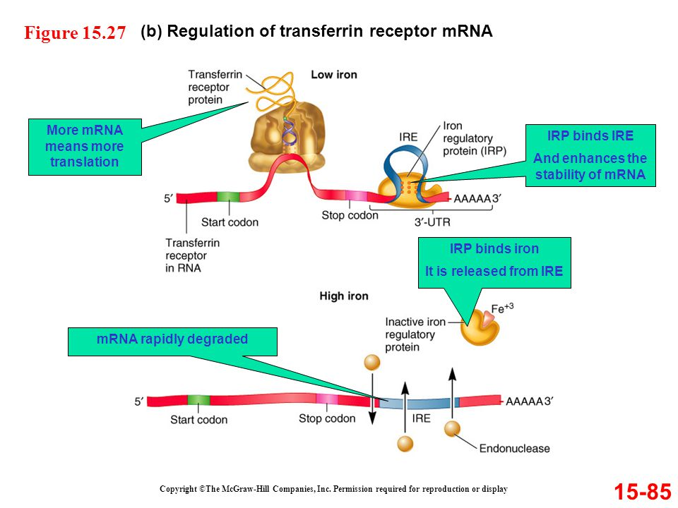 More mRNA means more translation And enhances the stability of mRNA