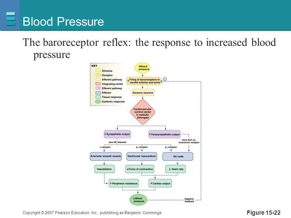 Blood Pressure The baroreceptor reflex: the response to increased blood pressure Figure 15-22
