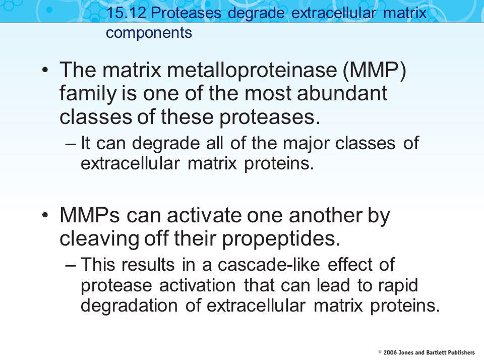 MMPs can activate one another by cleaving off their propeptides.