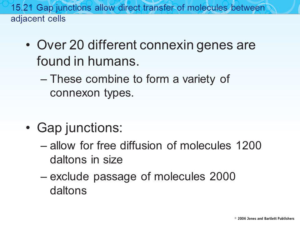 Over 20 different connexin genes are found in humans.