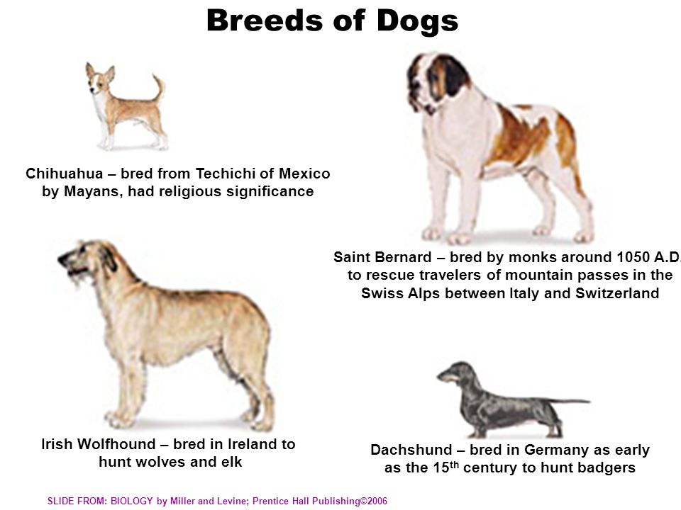 Breeds of Dogs Chihuahua – bred from Techichi of Mexico