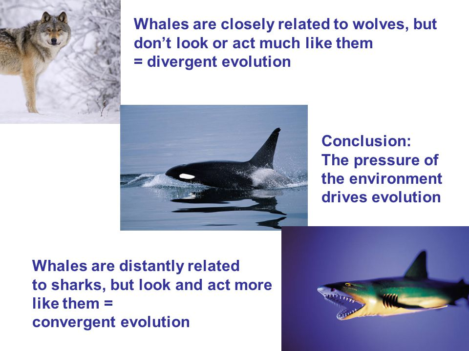 Whales are closely related to wolves, but don't look or act much like them