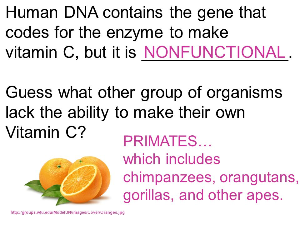 Human DNA contains the gene that codes for the enzyme to make vitamin C, but it is ________________.