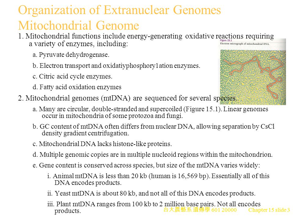 Organization of Extranuclear Genomes Mitochondrial Genome
