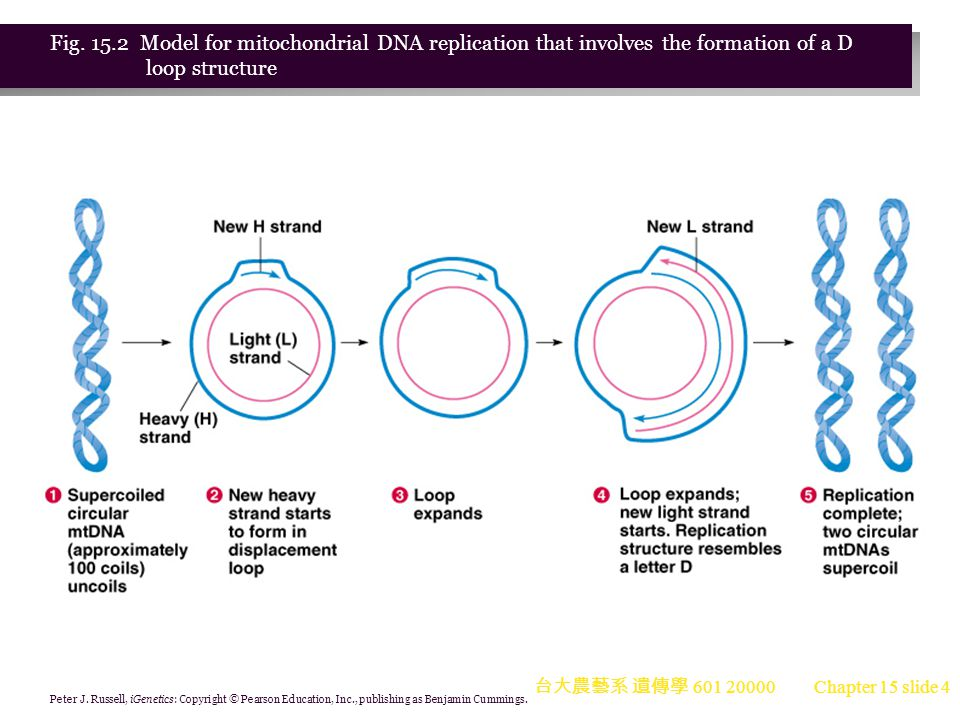 Fig. 15.2 Model for mitochondrial DNA replication that involves the formation of a D loop structure