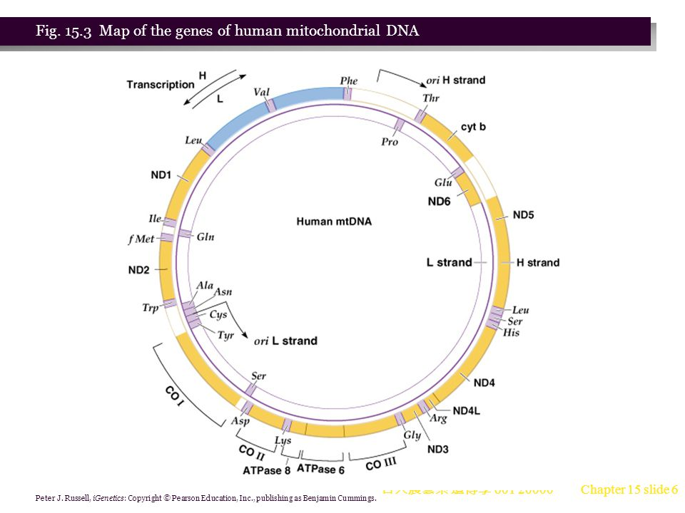 Fig. 15.3 Map of the genes of human mitochondrial DNA