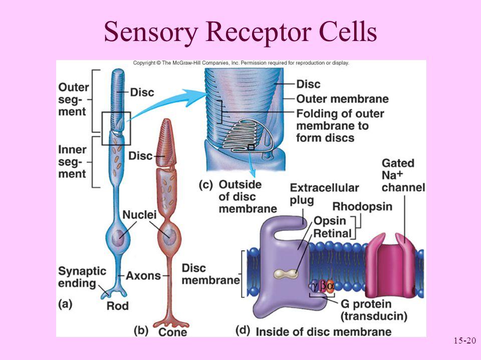 Sensory Receptor Cells