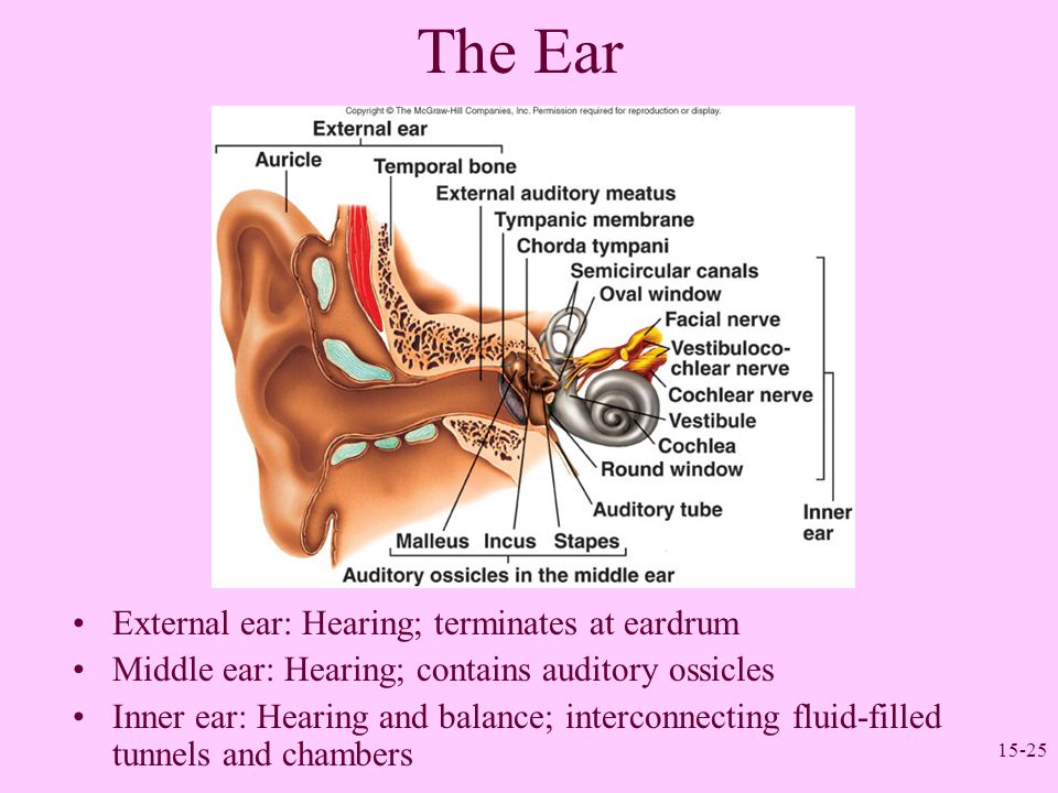 The Ear External ear: Hearing; terminates at eardrum