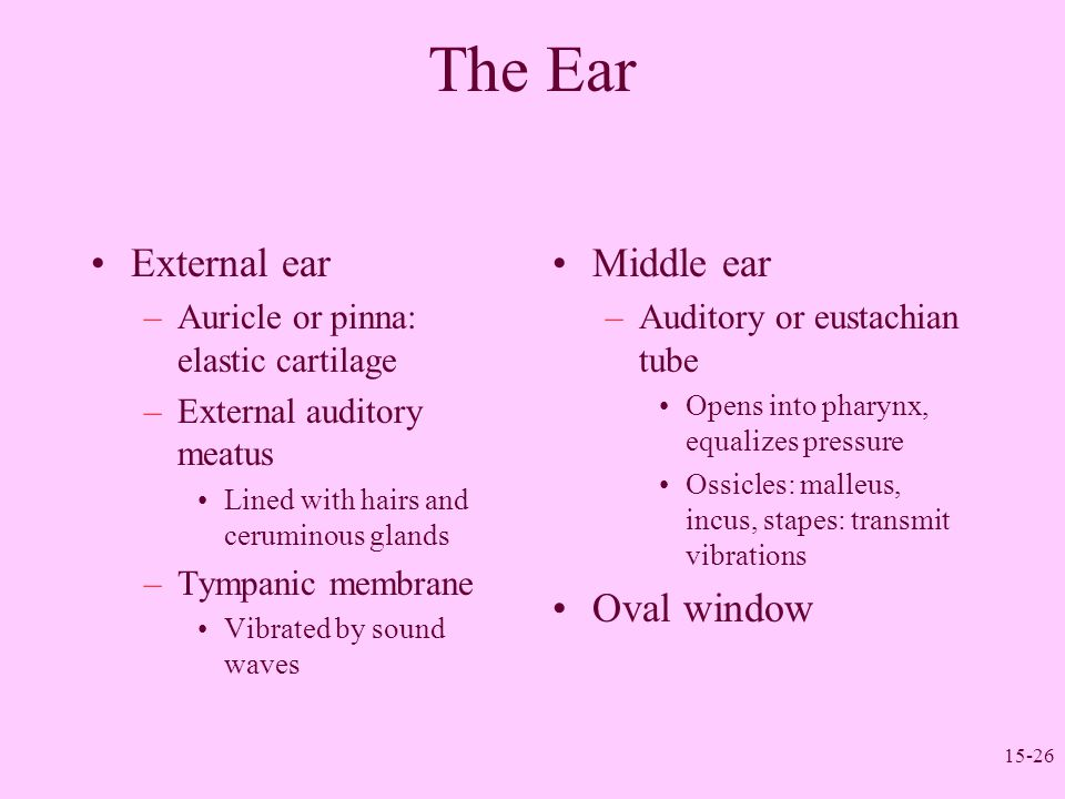 The Ear External ear Middle ear Oval window