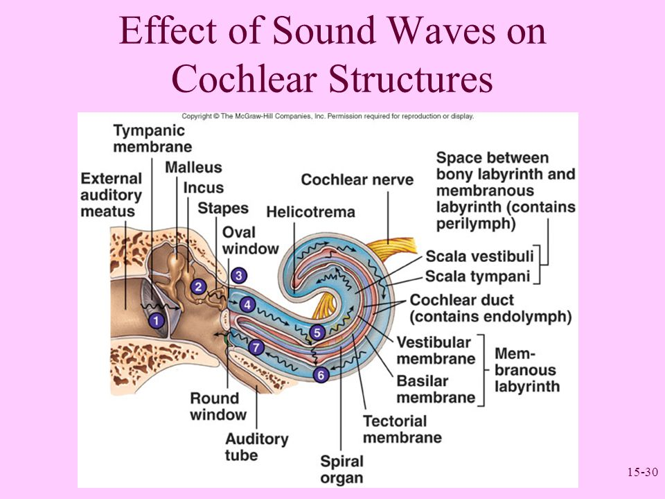 Effect of Sound Waves on Cochlear Structures