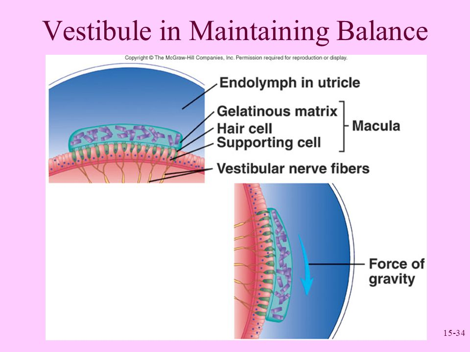 Vestibule in Maintaining Balance