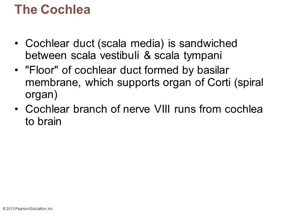 The Cochlea Cochlear duct (scala media) is sandwiched between scala vestibuli & scala tympani.