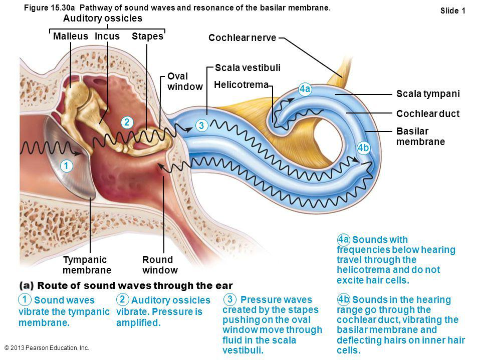 Route of sound waves through the ear