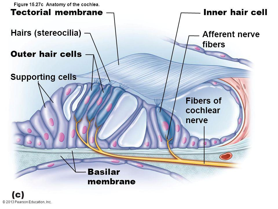 Hairs (stereocilia) Supporting cells