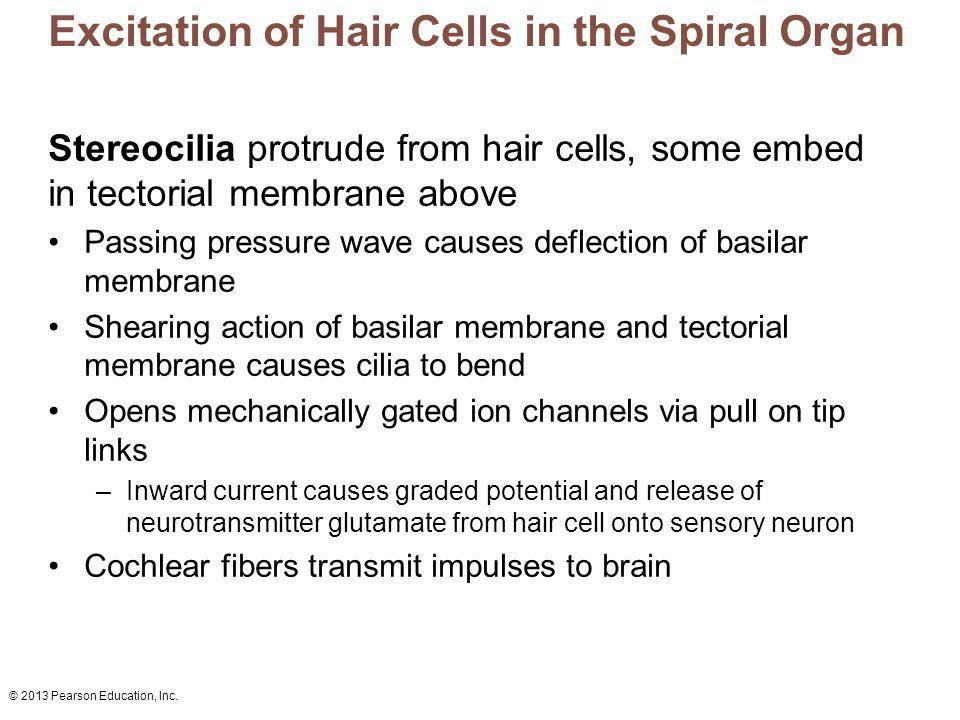 Excitation of Hair Cells in the Spiral Organ