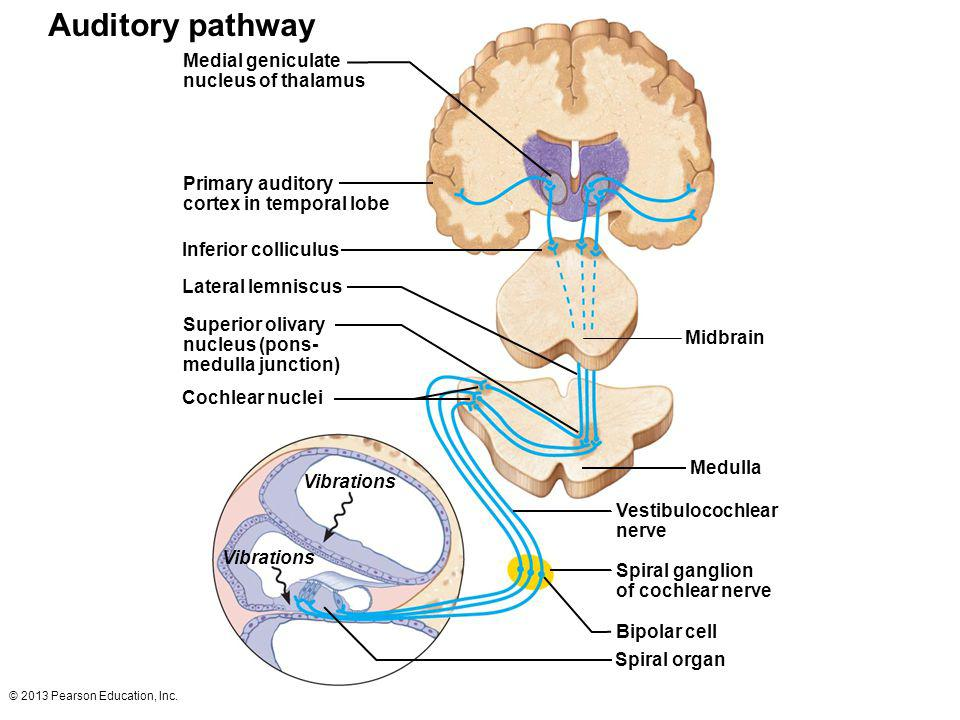 Auditory pathway Medial geniculate nucleus of thalamus