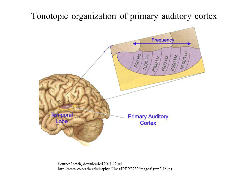 Tonotopic organization of primary auditory cortex