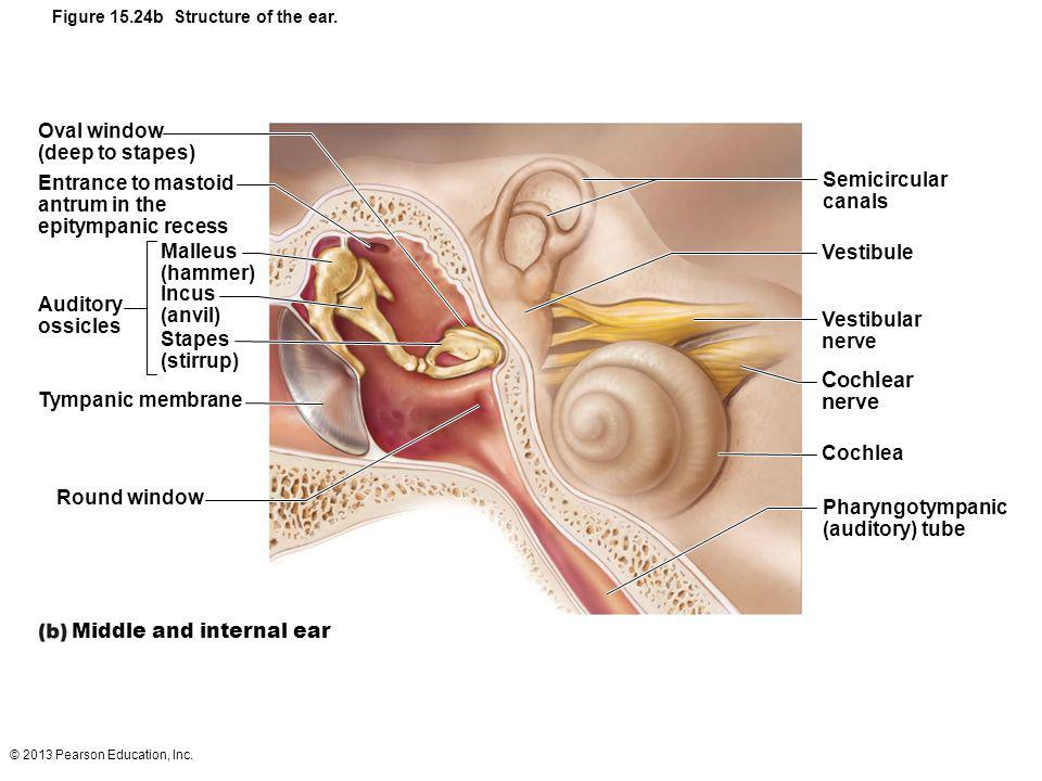 Middle and internal ear