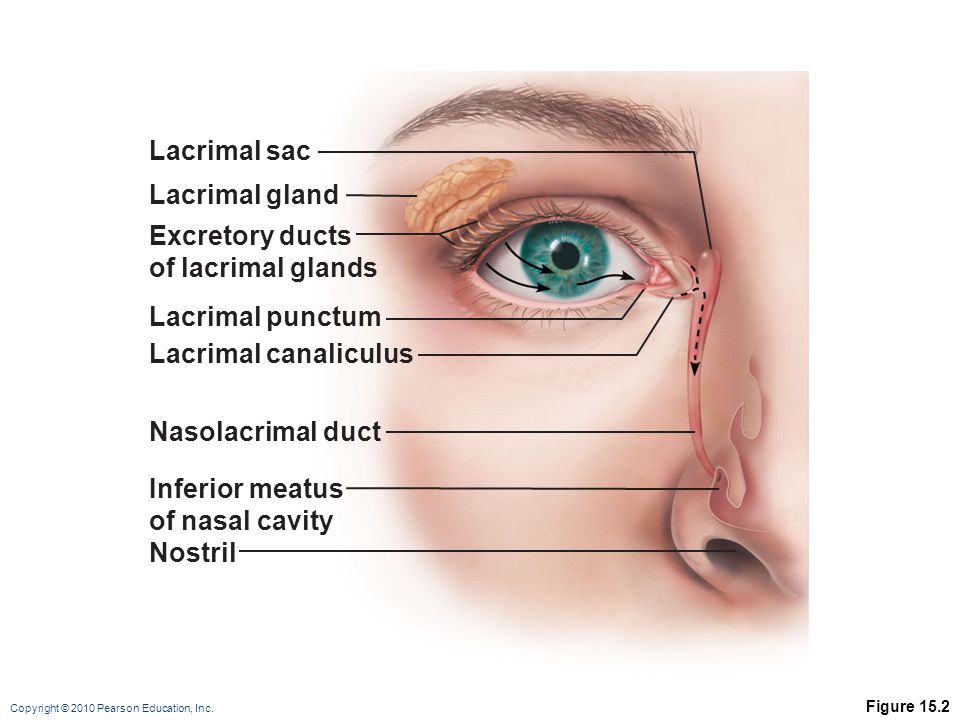 Lacrimal sac Lacrimal gland Excretory ducts of lacrimal glands