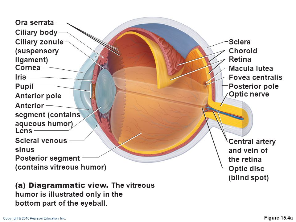 (contains vitreous humor) Optic disc (blind spot)